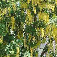 Goudenregen (Laburnum watereri Vossii)