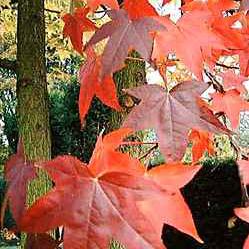 Amberboom (Liquidambar styraciflua)