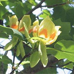 Tulpenboom (Liriodendron tulpifera)