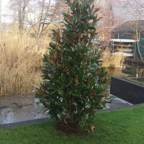 Groenblijvende Beverboom (Magnolia grandiflora Galissioniere)