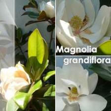 Magnolia (Magnolia Grandiflorum Goliat)