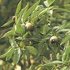 Mispel (Mespilus germanica)