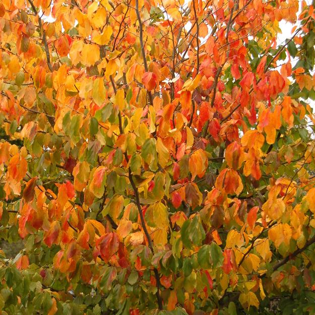 Perzisch ijzerhout (Parrotia persica)