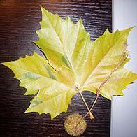Gewone plataan (Platanus acerifolia)