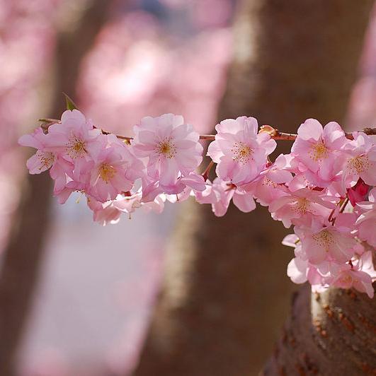 Sierkers (Prunus accolade)