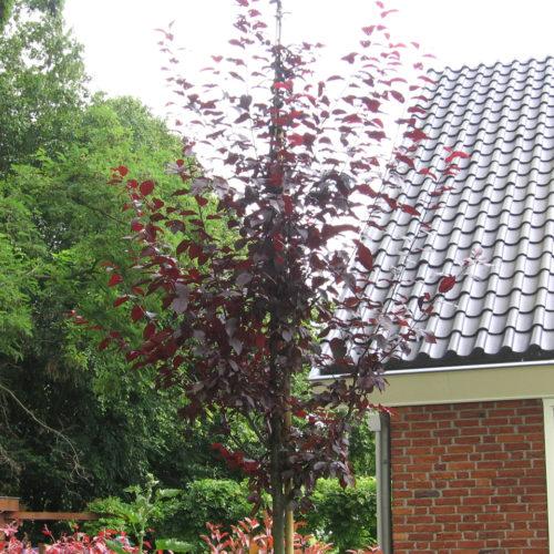 Kerspruim (Prunus cerasifera Nigra)