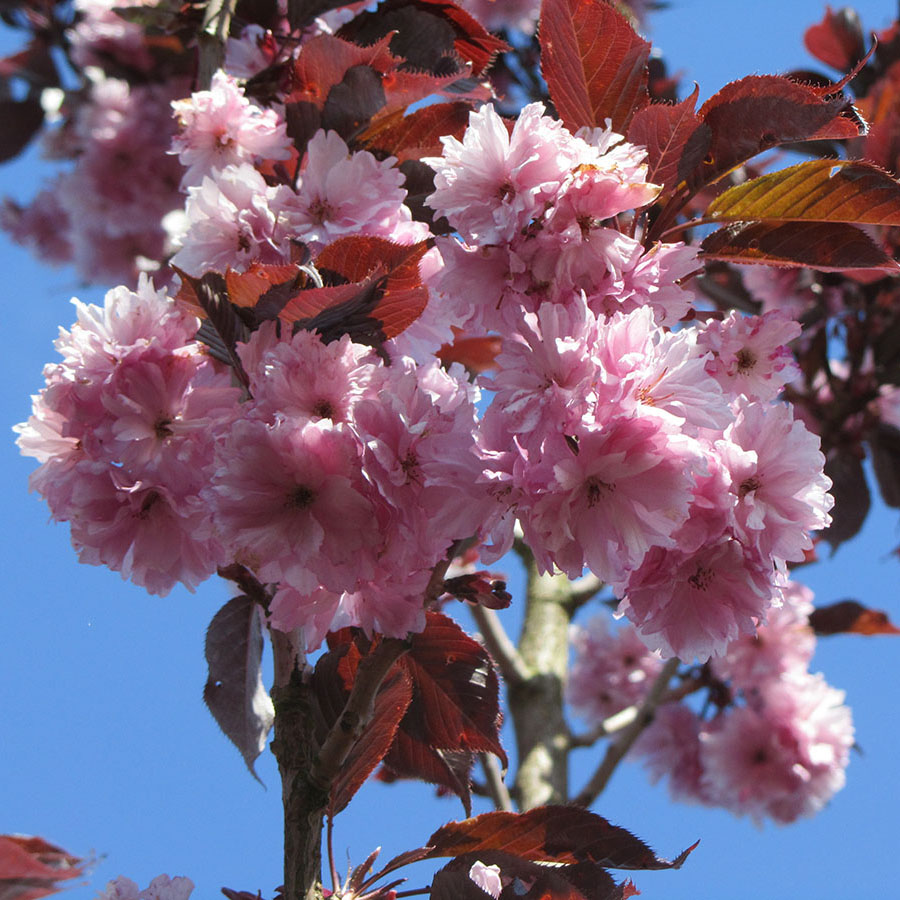 Japanse sierkers (Prunus Royal Burgundy)