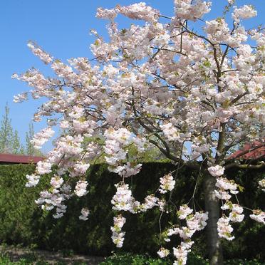 Japanse sierkers (Prunus serrulata)