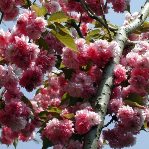 Japanse sierkers (Prunus serrulata Kanzan)