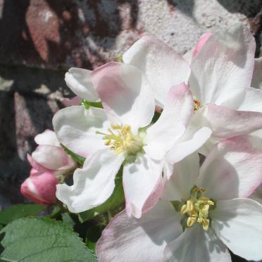 Sierpeer (Pyrus calleryana Chanticleer)