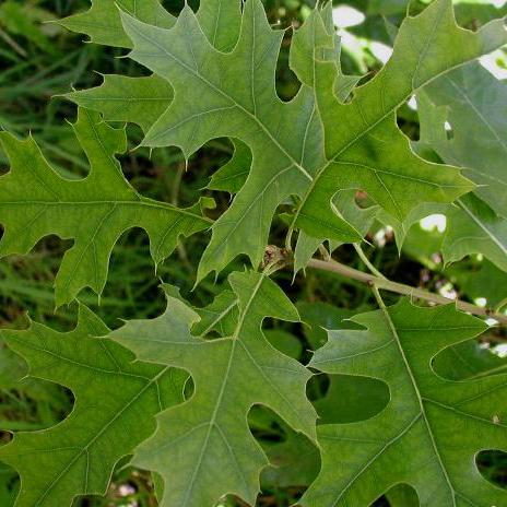 Moeraseik (Quercus palustrus)