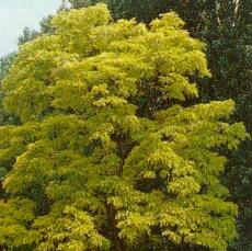 Gele valse acacia (Robinia pseudoacacia frisia)
