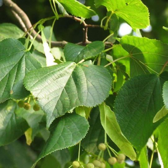 Linde hoogstam (Tilia europaea Pallida)
