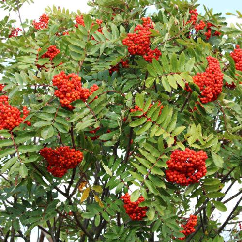 Lijsterbes (Sorbus aucuparia)