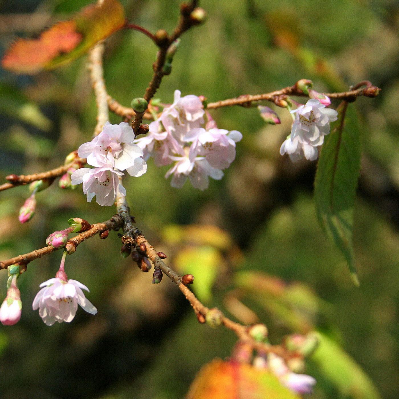 Sierkers (Prunus subhirtella Autumnalis)