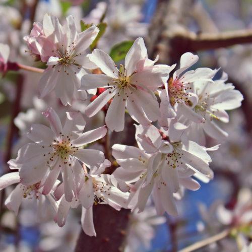 Sierkers (Prunus subhirtella Autumnalis Rosea)