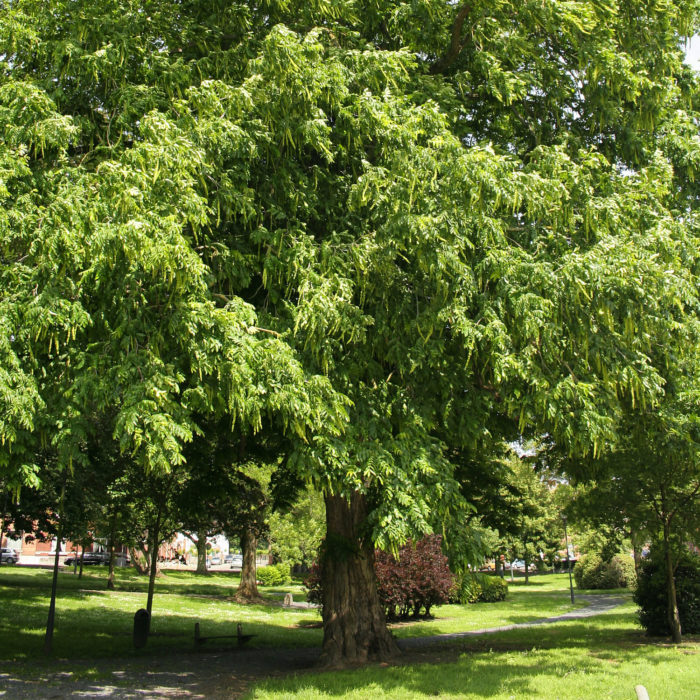 Gewone vleugelnoot (Pterocarya fraxinifolia)