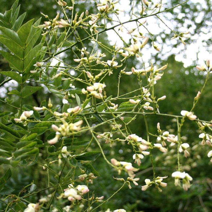 Honingboom (Sophora japonica)